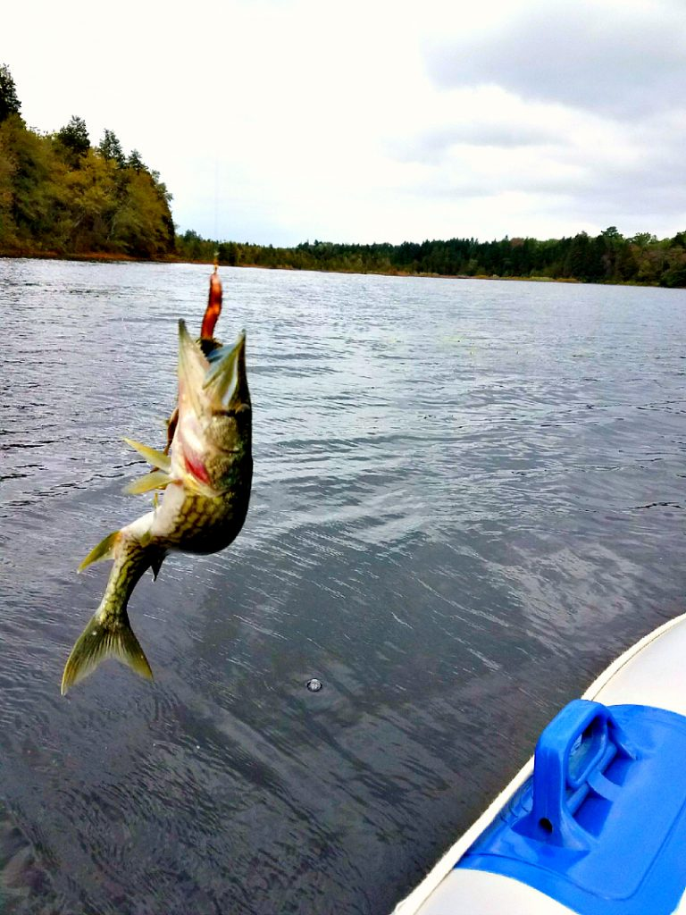 chain pickerel catch