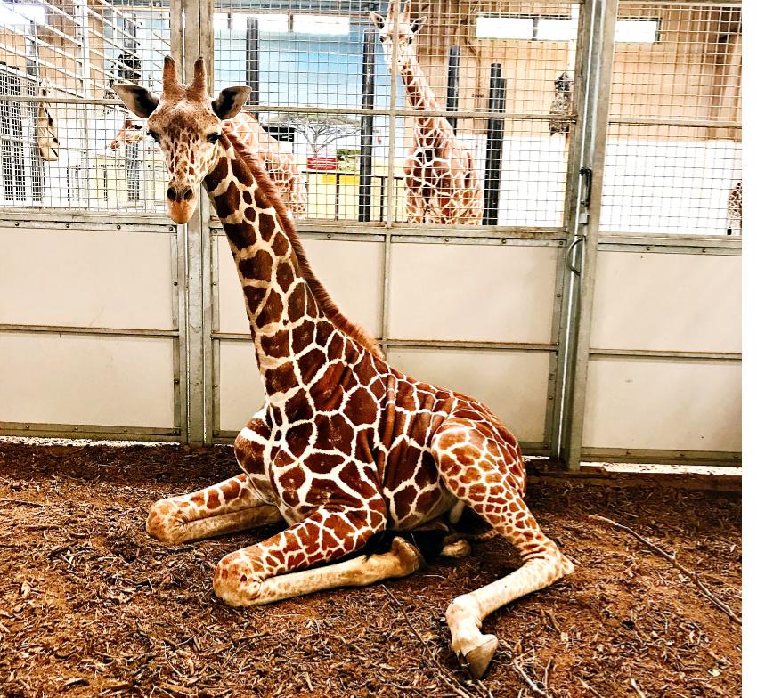 Beautiful Giraffe