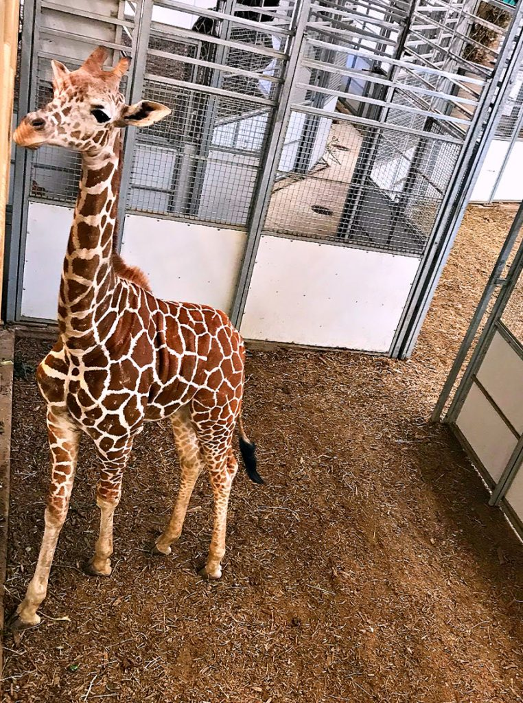 Giraffe At Omaha Zoo