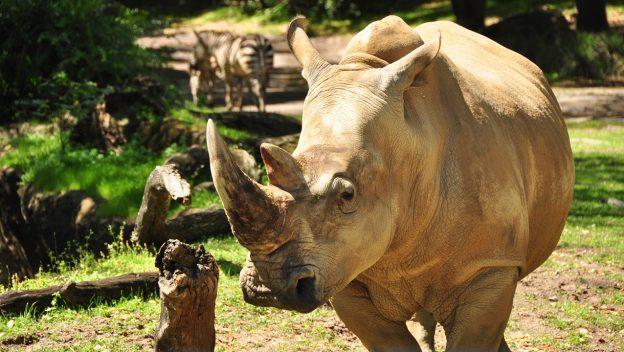Up Close with Rhinos