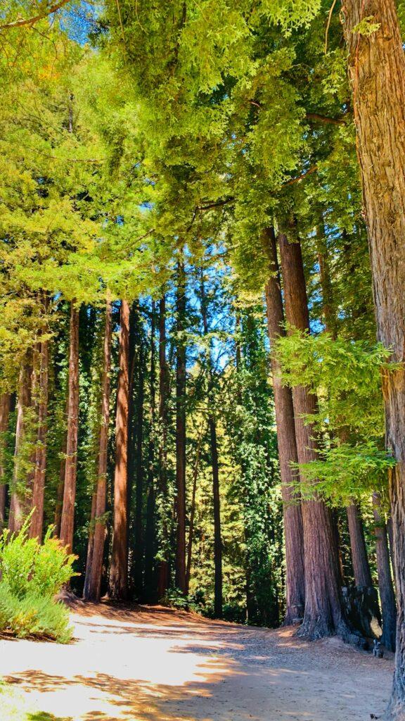 trail through the California evergreens